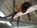 Howler monkey chilling at the butterfly farm. These guys are loud! I guess, hence the name.